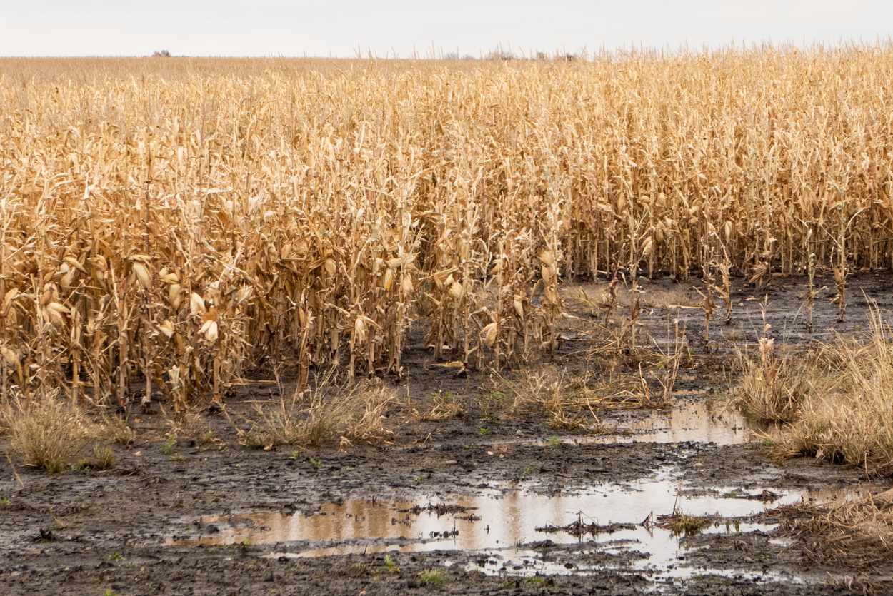 Flooded Cornfield in eastern SD